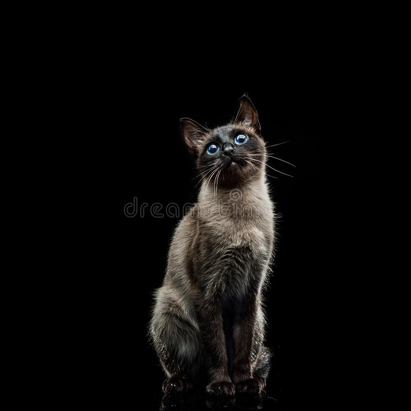 Siamese cat on a black stock photography
