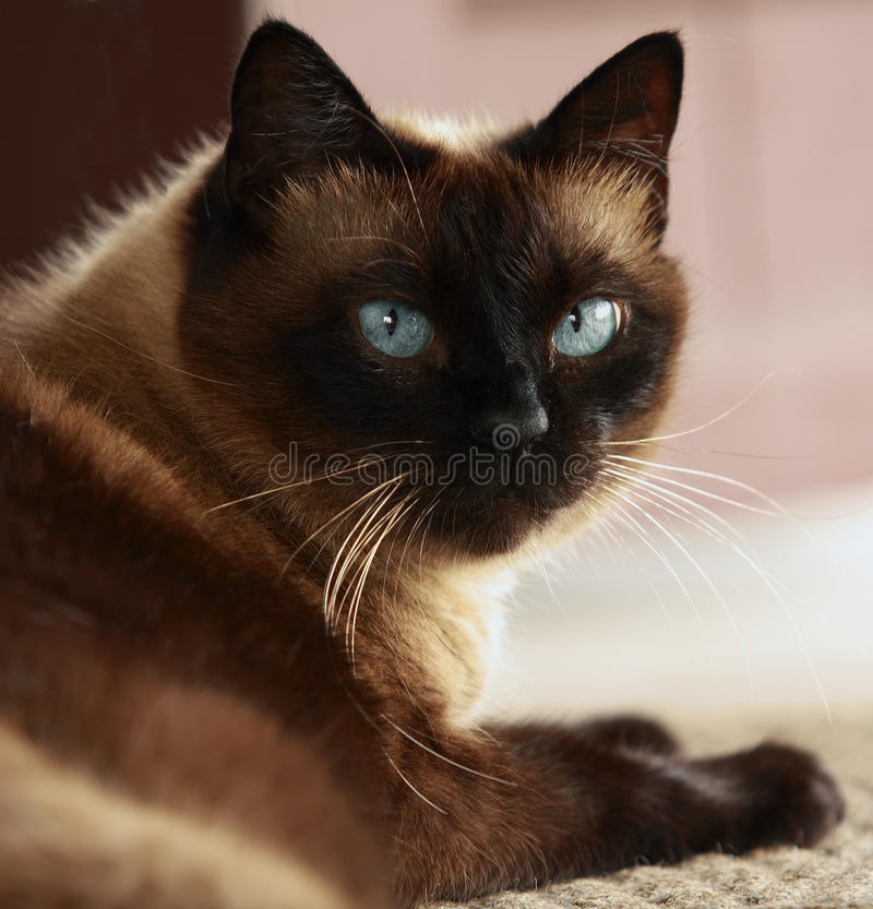 Siamese cat with blue eyes. Portrait of a brown Siamese cat with blue eyes, largely stock photography