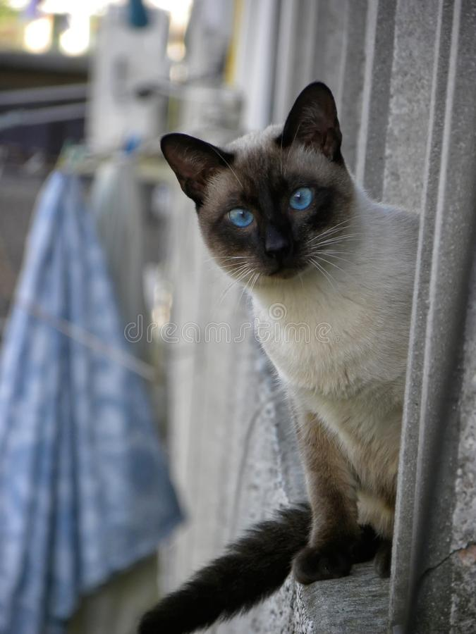 A Siamese cat looking the camera royalty free stock photos
