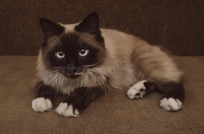 Siamese cat with blue eyes. Cute fluffy Siamese cat with blue eyes lying on sofa indoor stock photography