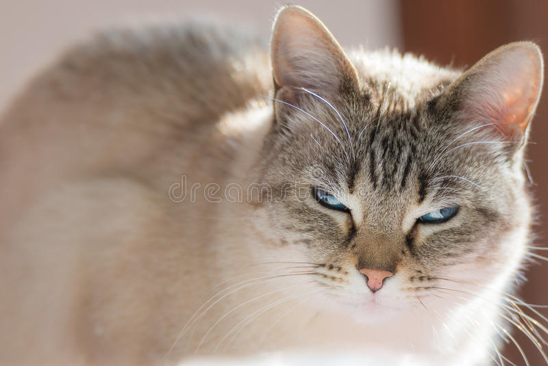 Siamese cat with blue eyes looking at camera in backlight royalty free stock images