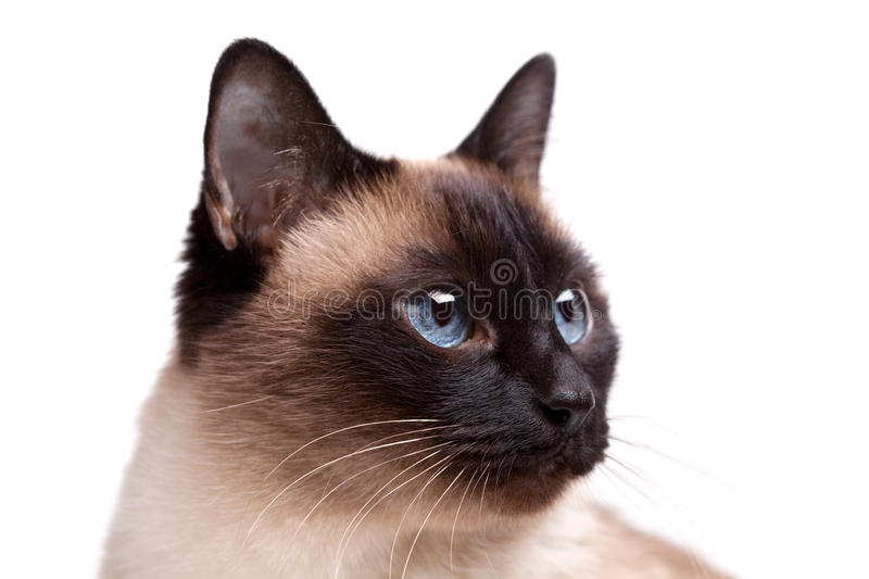Download Siamese Cat With Blue Eyes Looks Right Stock Image - Image: 12942417