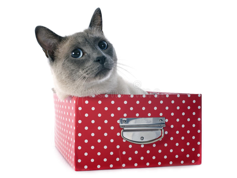 Siamese Cat in box. Beautiful purebred siamese cat in box in front of white background stock photos
