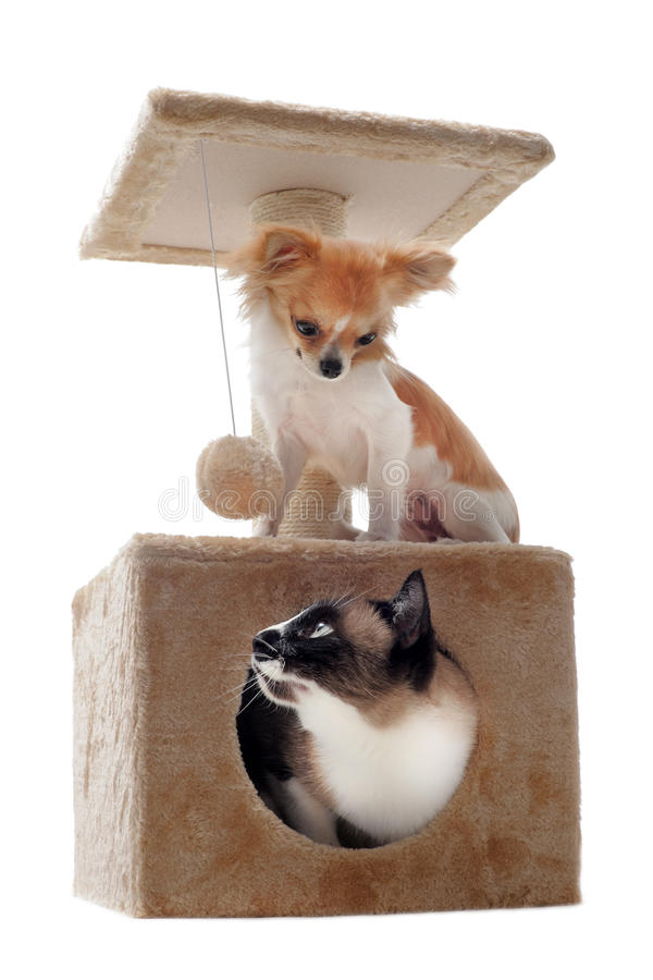 Download Siamese cat and chihuahua stock photo. Image of studio - 26163036