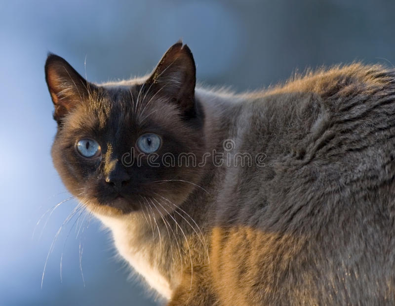 siamese cat chocolate point stock photo image of