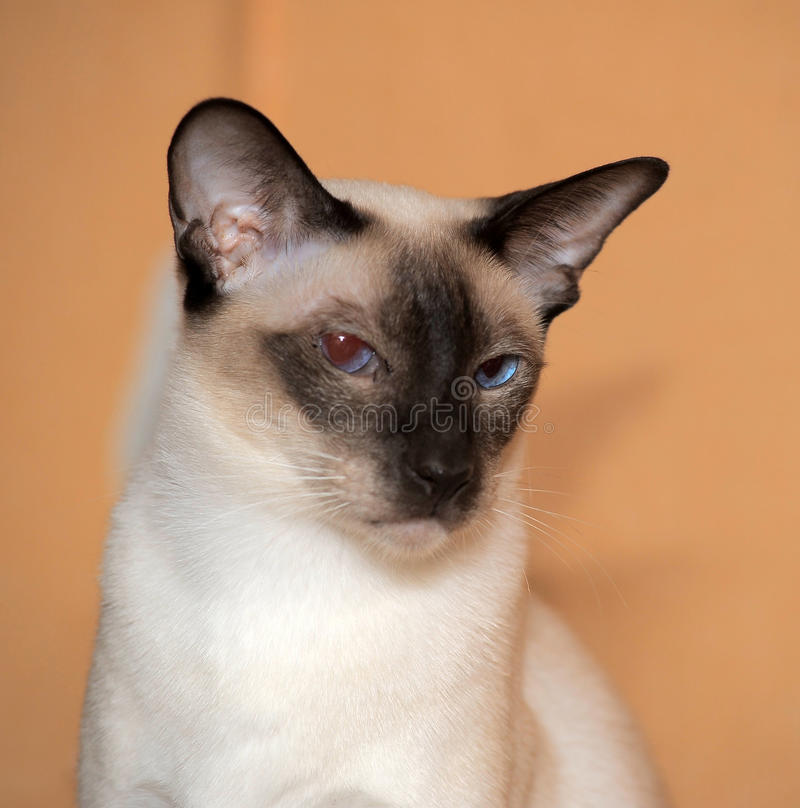 Siamese cat. Close up of cute blue-eyed siamese cat stock photography