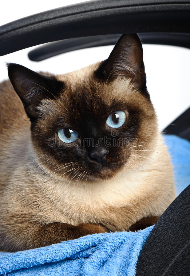 Download Siamese cat closeup stock image. Image of beautiful, purebred - 21697715