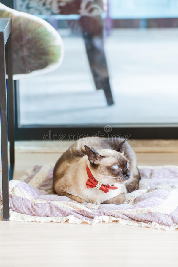 Siamese Cat. Cute blue-eyed siamese cat on pillow royalty free stock images