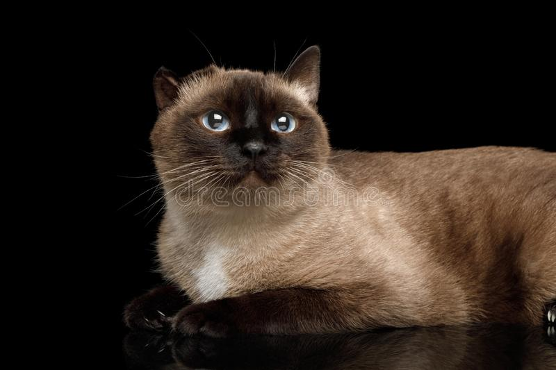 Siamese cat with damaged ear of otitis on black background. Close-up Siamese Cat with damaged ear after otitis Gazing on Isolated Black Background stock images