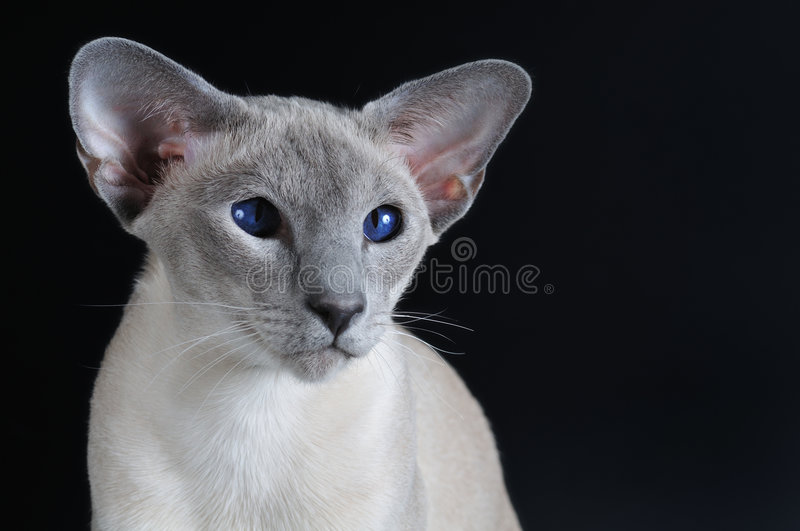 Download Siamese Cat With Dark Blue Eyes Stock Photo - Image of copyspace, head: 4359436