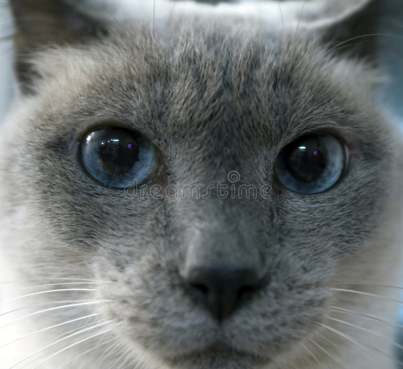 Download Siamese Cat Face stock photo. Image of enraged, eyed, face - 7003958
