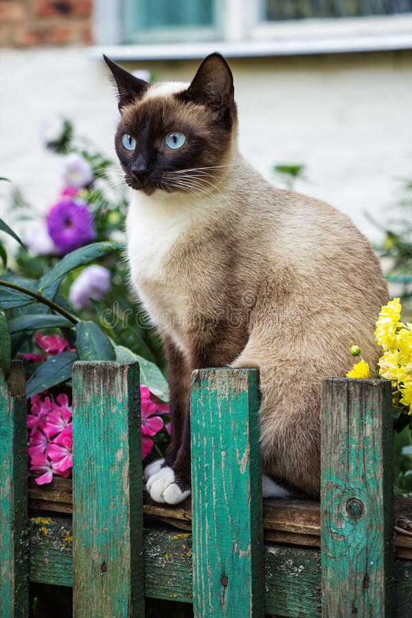 Siamese cat on the fence. Beautiful Siamese cat on the fence in the garden. Siamese cat on the fence. Cat in the garden royalty free stock image