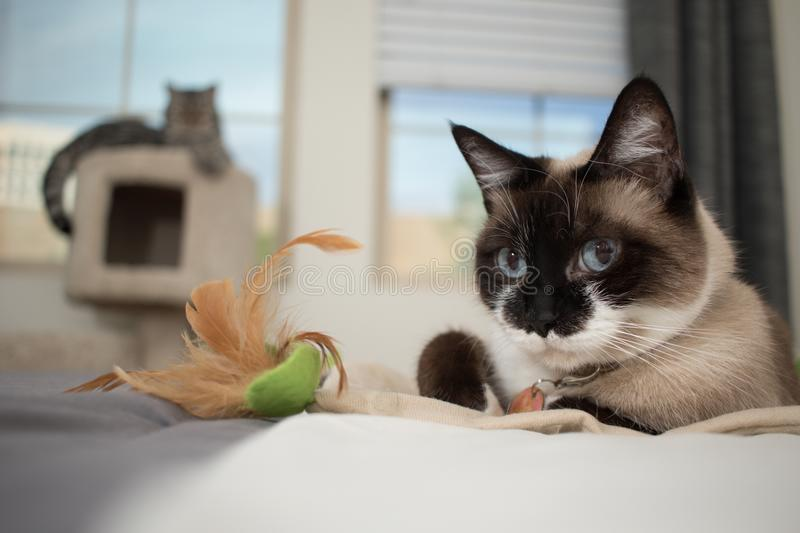 Siamese cat with gray kitten in the background stock photos
