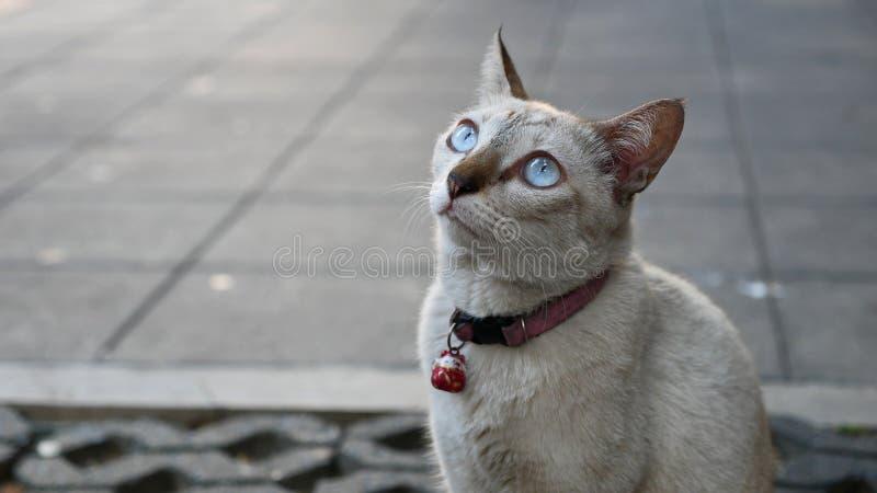 Siamese Cat Grey Sky Blue Eyes Looks op Hoek Concrete Achtergrond royalty-vrije stock fotografie