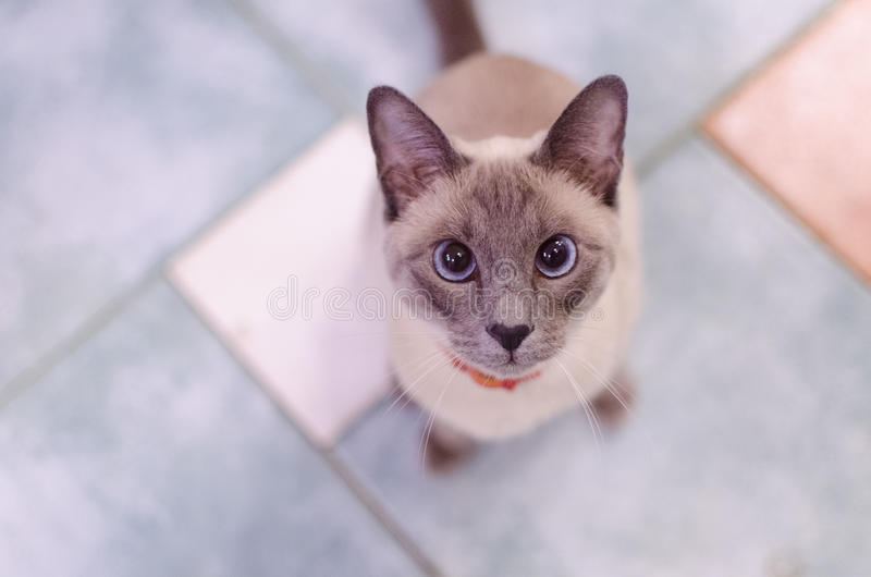 Siamese cat. Home Siamese cat asks to eat stock photo