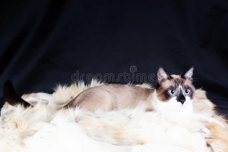 Siamese cat  on the black background. thai cat royalty free stock image