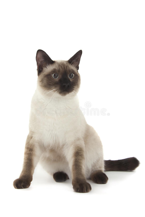 Siamese cat. Isolated over white background stock images