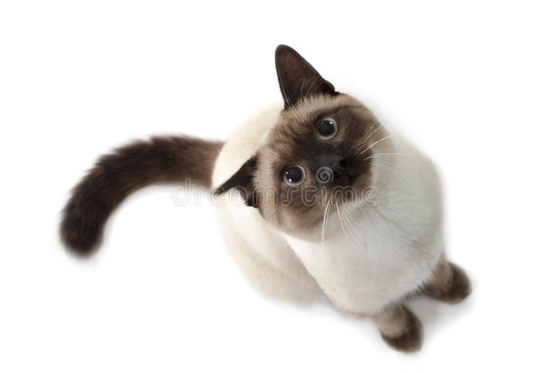 Siamese cat. Isolated over white background royalty free stock photography