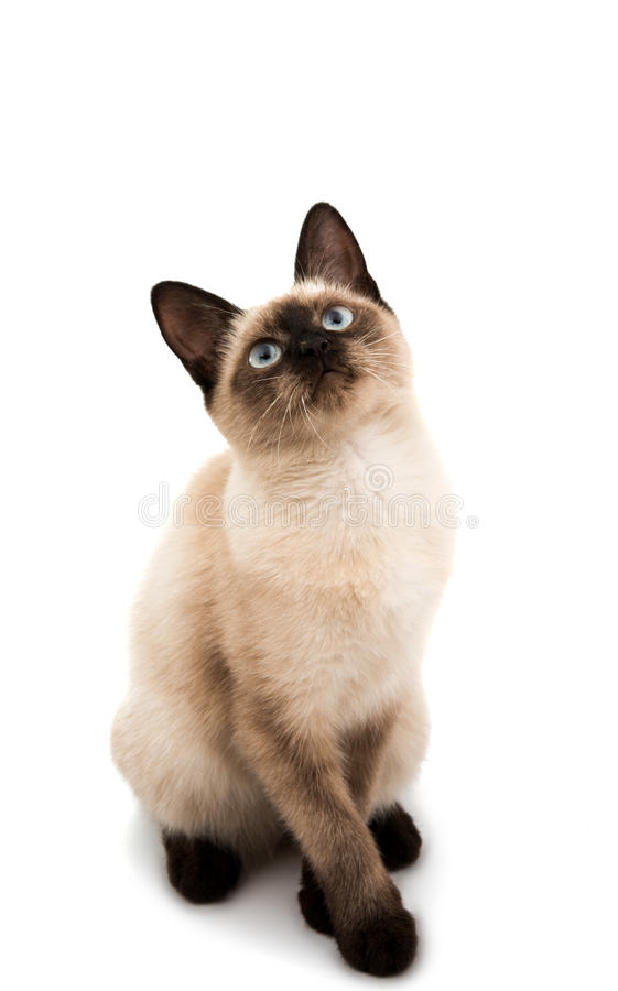 Siamese cat isolated. On white background stock photography