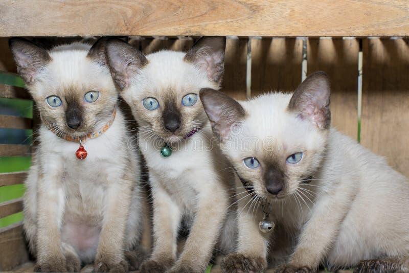 Siamese cat kitten in wood box royalty free stock photo