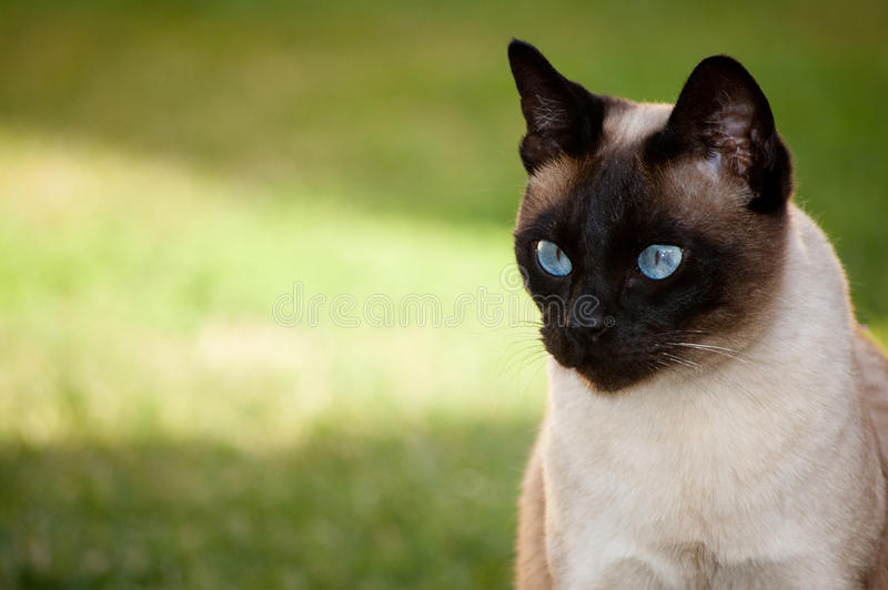 Download Siamese cat looking stock photo. Image of whiskers, light - 22328218