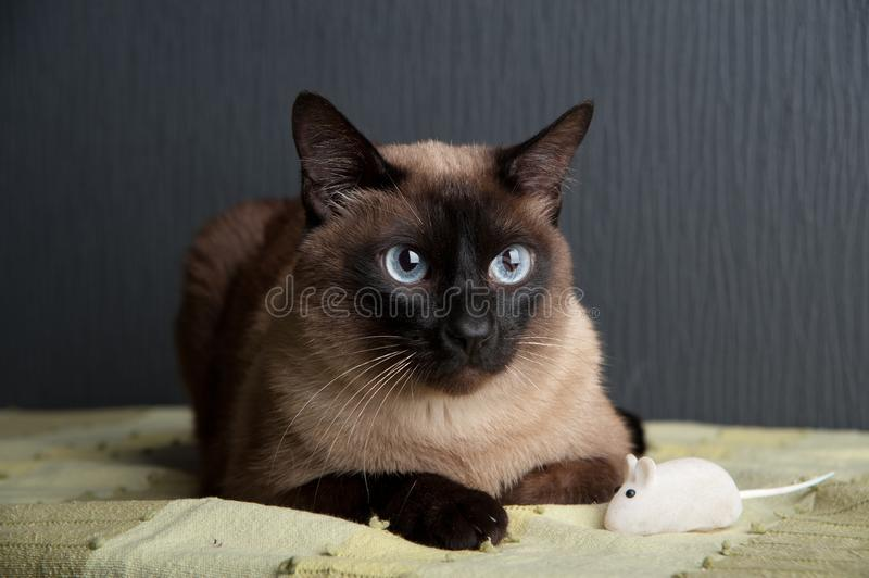 Siamese cat looking at the camera stock images