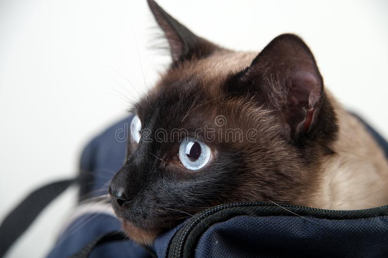Siamese cat looking at the camera royalty free stock photography