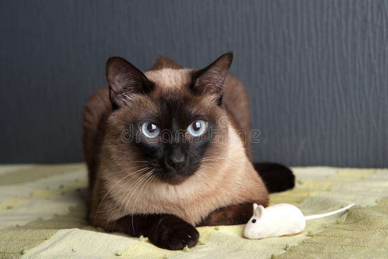 Siamese cat looking at the camera royalty free stock photos