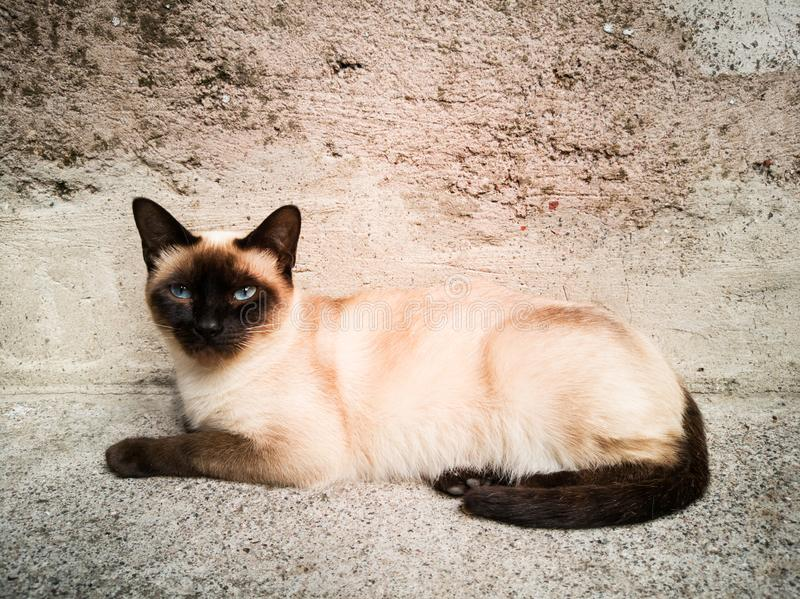 A siamese cat looking to the camera royalty free stock image