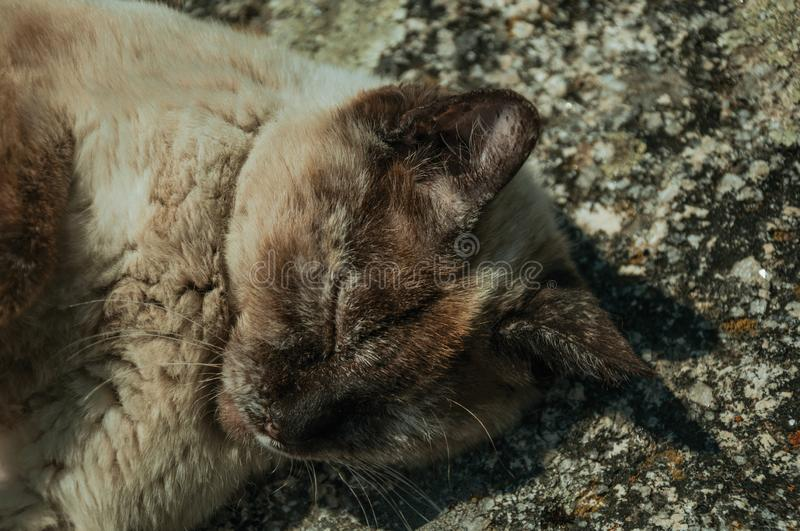 Siamese cat lying asleep on stone parapet. Covered with lichens, in a sunny day at Monsanto. Considered one of the cutest and most peculiar historic village of stock image