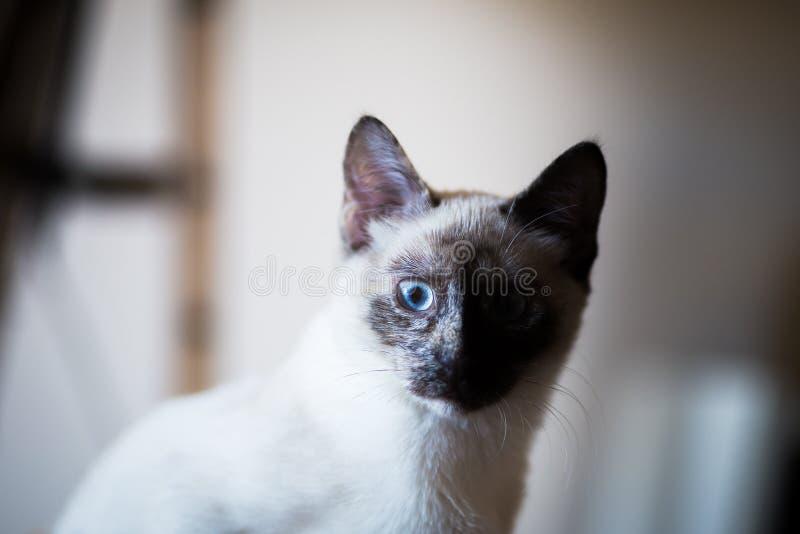 Siamese cat. Nice siamese cat portrait, natural light stock photography