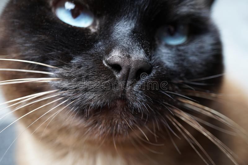 Siamese cat nose close-up. Siamese cat nose and snout macro close-up stock images
