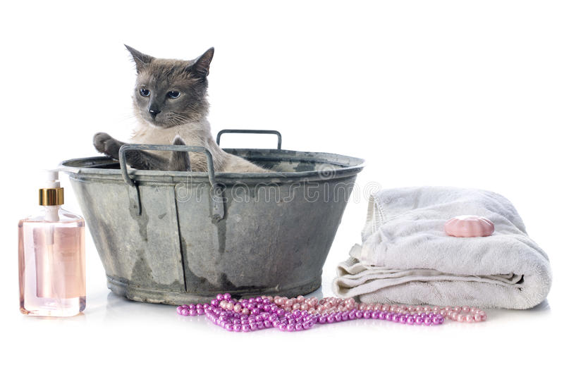 Siamese Cat in pond. In front of white background stock image