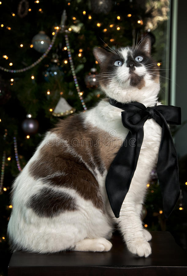 Download Siamese Cat Portrait stock photo. Image of domestic, chocolate - 17462074