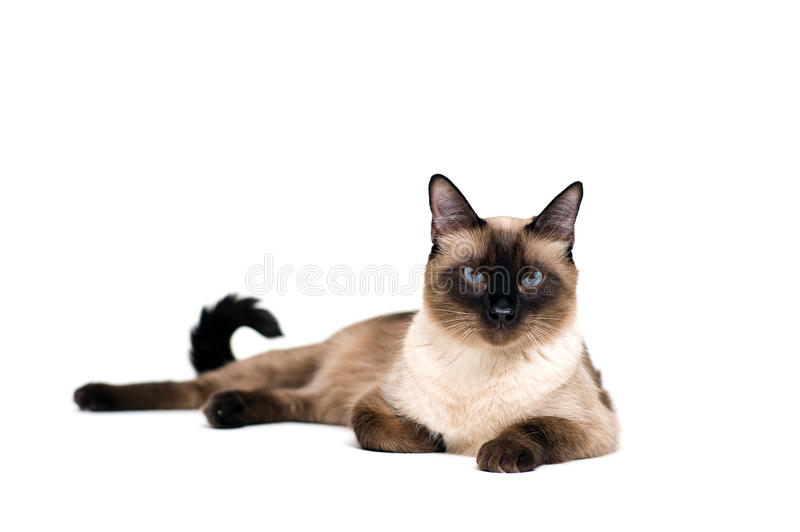 Siamese cat. Purebred cute siamese cat lying studio shot stock photography