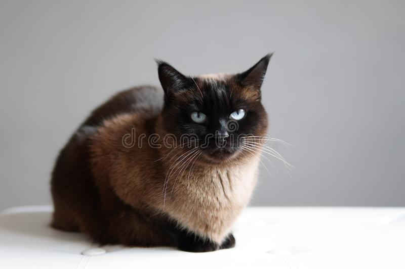 Siamese cat resting. Siamese or thai cat - purebred feline pet resting indoors royalty free stock photography