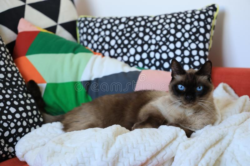 Siamese cat& x27;s looking at the camera stock photo