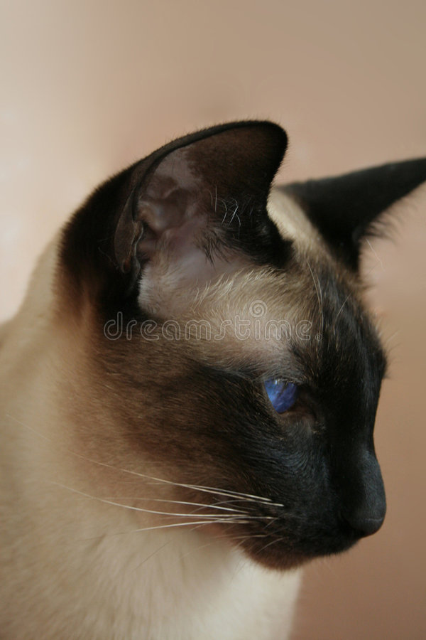Free Siamese Cat Seal Point Royalty Free Stock Photos - 3102898
