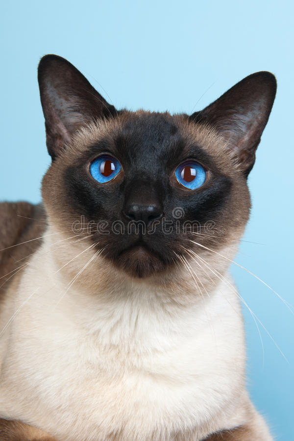 Siamese cat. Seal point Siamese cat with blue eyes royalty free stock photography