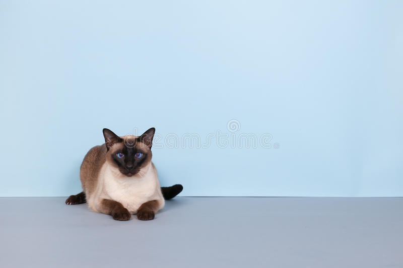 Siamese cat. Seal point Siamese cat with blue eyes on gray background stock photos