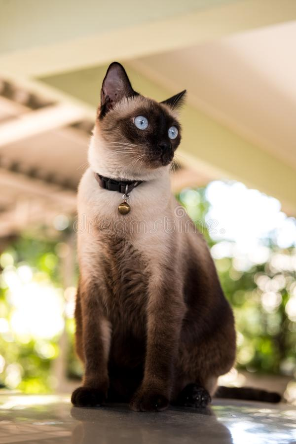 Siamese cat. Sit on the floor royalty free stock image