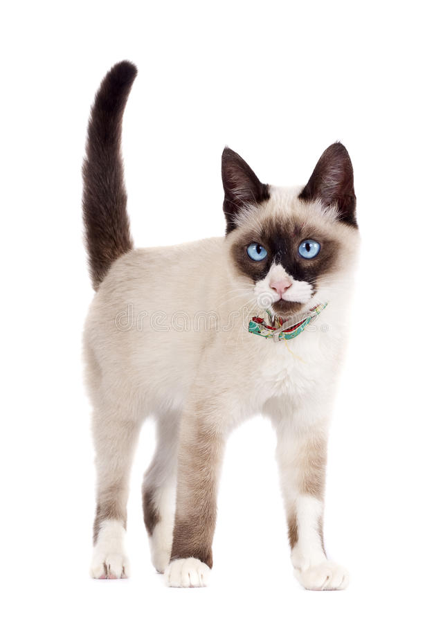 Siamese cat standing. Isolated on the white background royalty free stock photography