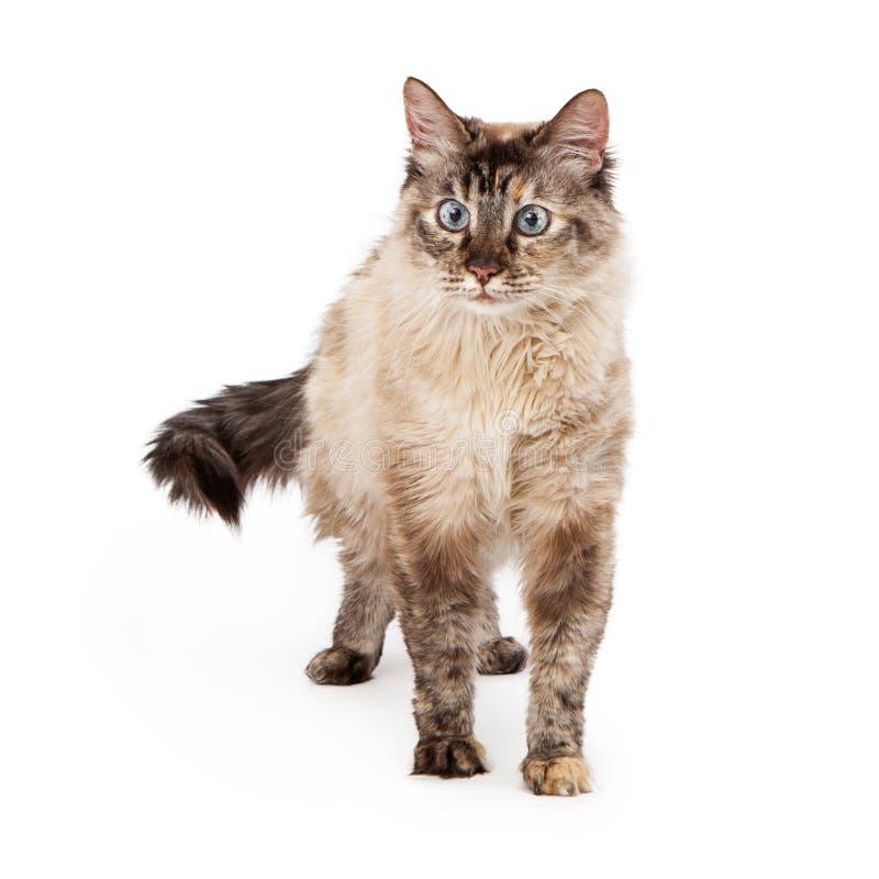 Siamese Cat Walking royalty-vrije stock afbeelding