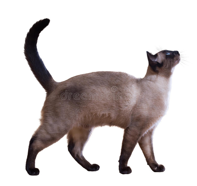 Siamese cat. Walking Siamese cat, isolated on white background stock photo