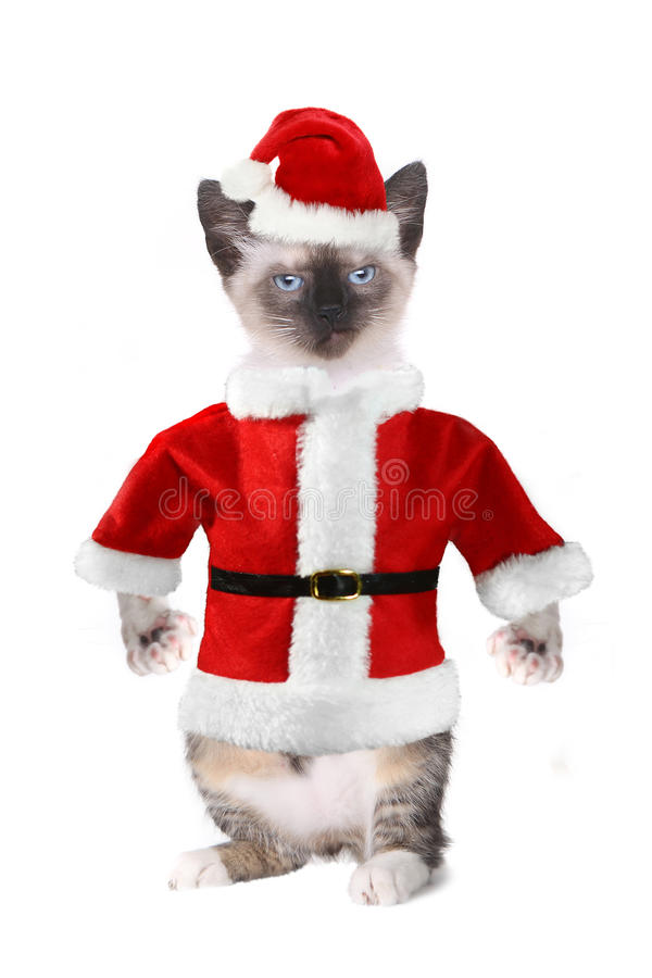 Siamese Cat Wearing a Santa Claus Suit royalty free stock photos