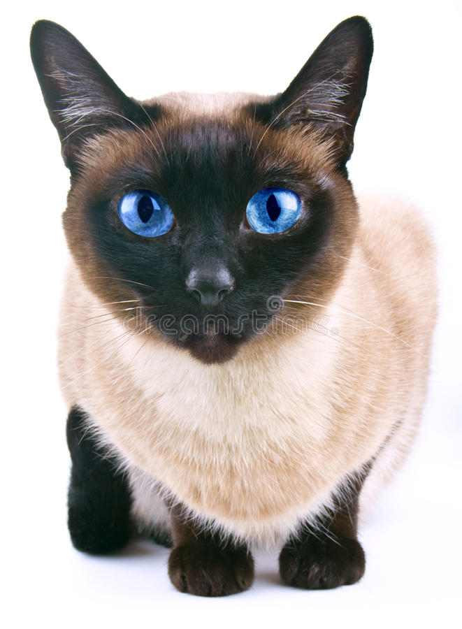 Download Siamese cat  on the white stock photo. Image of individuality - 30238996
