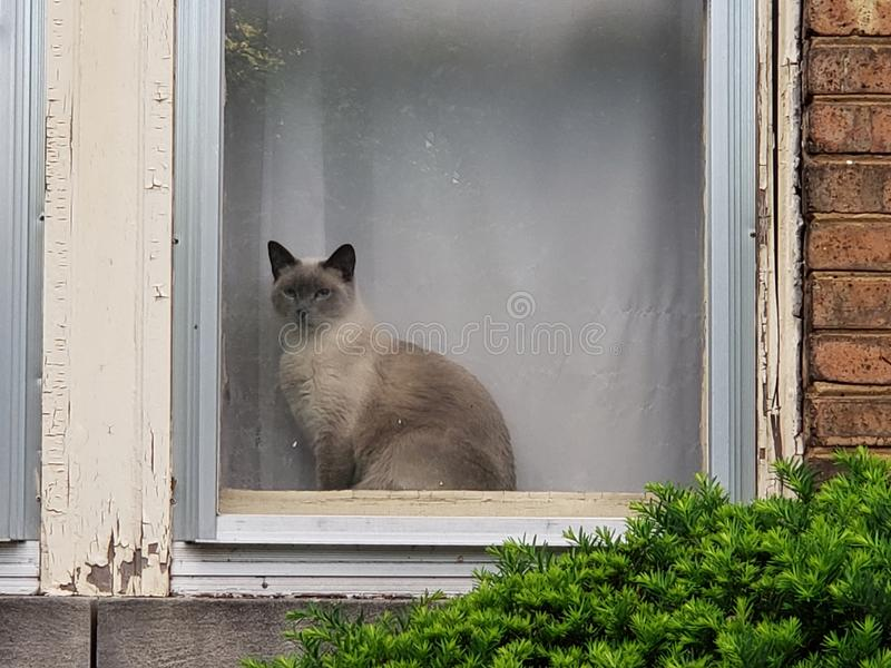 Siamese cat in a window. Beauty, watching, furry royalty free stock photo