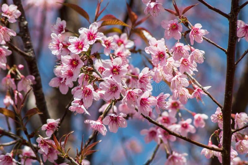 Siamese Cherry Blossom royalty-vrije stock foto