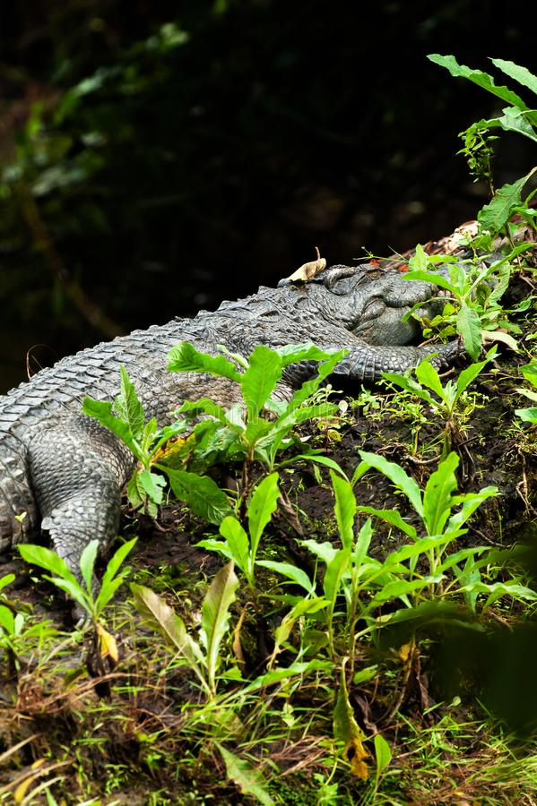 The Siamese crocodile taking a nap on the log on a hot day, funny the crocodile with a fallen leaf on its head stock image