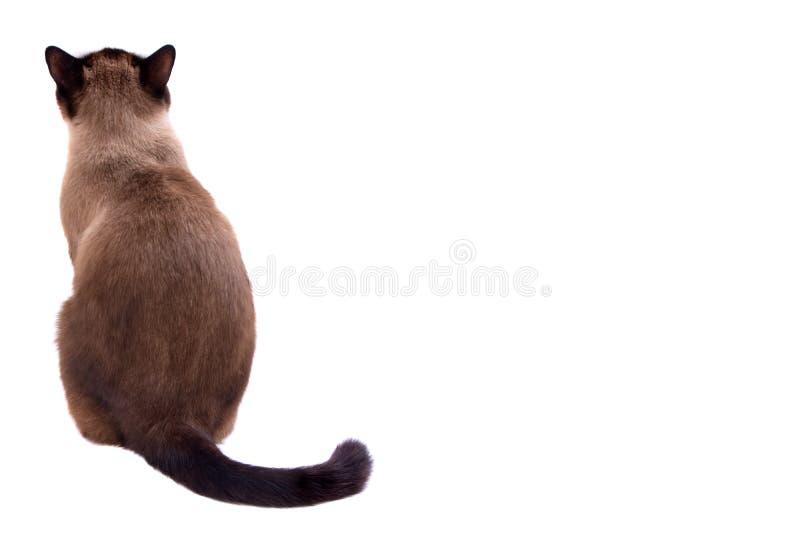Siamese de kattenzitting van de portret bruine sneeuwschoen op een vloer terug naar camera Ge?soleerd op wit stock fotografie